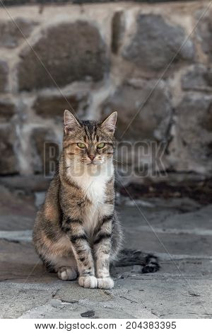 Adorable staring fluffy green-eyed tabby cat standing on a street in the national revival architectural complex in Tryavna, Bulgaria, Eastern Europe. Blurred background.