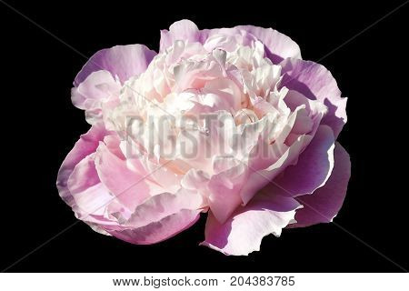 Peony Sarah Bernadt which is a spring blooming flower cut out and isolated on a black background