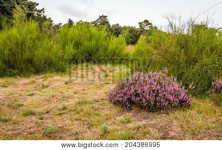 Common broom and pink flowering heather in the foreground of a Dutch National Park at the end of the summer season.