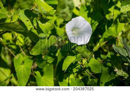 White bindweed flower on the green meadow