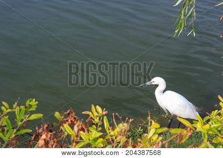 Little Egret Looking For Fish in Xiamen China