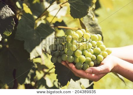 The woman's hand holds a large cluster of grapes during grapes harvest (vintage effect).