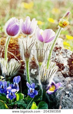 Pulsatilla slavica and viola odorata on the spring meadow. Seasonal natural scene. Beauty photo filter.