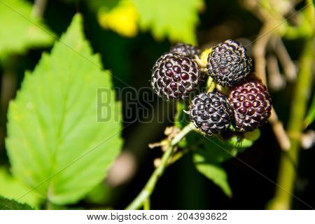 Blackberry on the bush in the garden