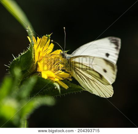 Large White Butterfly perched on a yellow Wild Flower in a park in Essex
