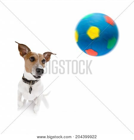 Soccer Jack Russell  Dog