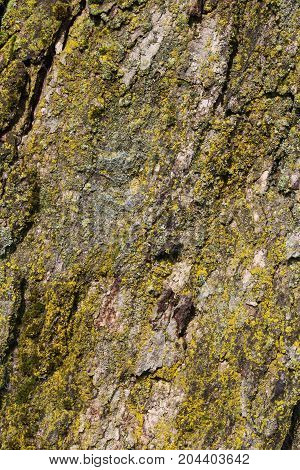 Heavily textured background of tree bark covered in moss,