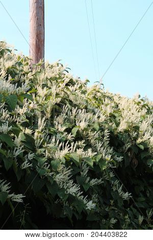 Cascading overgrowth of invasive Japanese knotweed in autumn bloom, vertical aspect