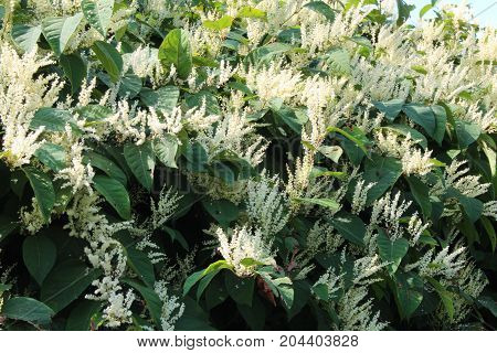 Asian knotweed donkey rhubarb invasive species in bloom, horizontal aspect
