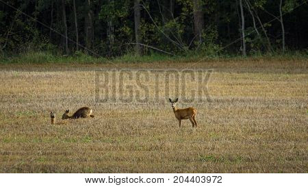 One roe deer standing and two laing down