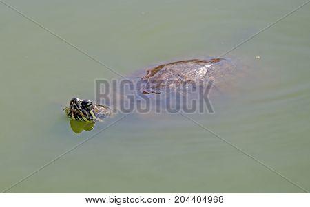 the big tortoises in turbid river water