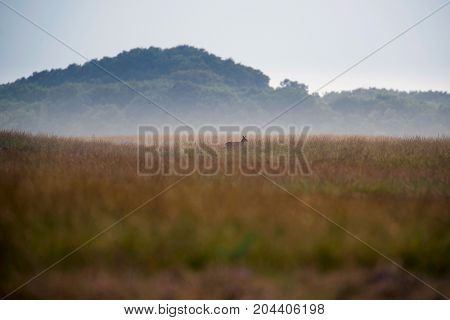Solitary Red Deer Hind In Foggy Field With Long Yellow Grass.