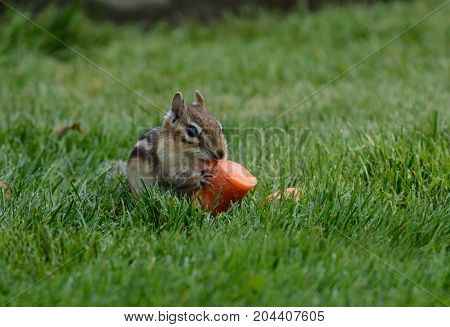 An Eastern Chipmunk (Tamias striatus) holding a piece of carrot as it prepares to eat it, in Nineveh, New York, USA.