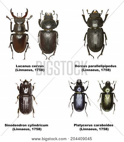Set of Stag Beetles of Europe  -  Lucanidae