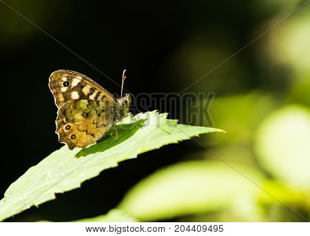 Speckled Wood Butterfly Sitting on a leaf in summer in Bedford park Essex