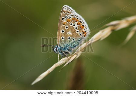 A Common Blue Butterfly with it's wings closed perched on a stem of grass in a field at a nature park in Cranham Essex