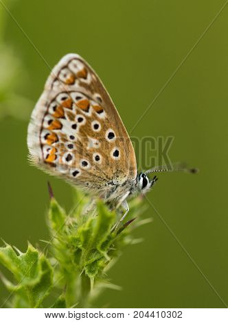 A Common Blue Butterfly perched on a thisle in a field in Cranham Nature Reserve Essex