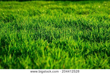 Green lawn, backyard for background, lawn floor, close-up lawn