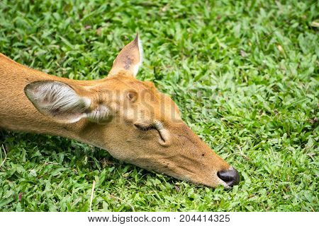 Deer in Thailand Zoo on green backgrounds