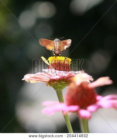 Hummingbird Moth On Gerbera Flower