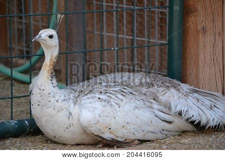 rare white (not albino) peahen (female peacock)