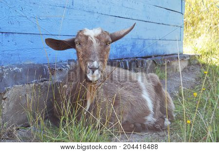 A goat without horns, brown, lies on the pasture near the shed wall