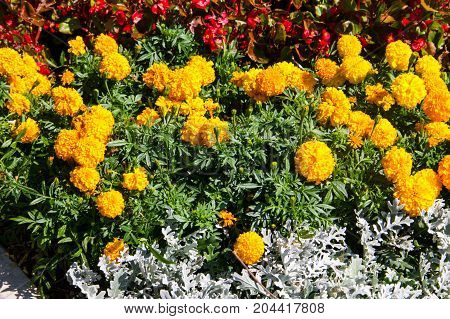 Mexican Marigolds (tagetes Erecta, Aztec Marigold) On Flowerbed