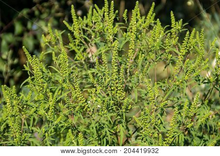 Green ragweed plants (Ambrosia artemisiifolia) causing allergy