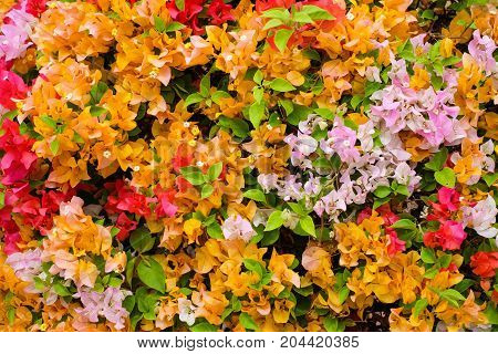 The beautiful Bougainvillea Flowers blooming in the garden for texture or background.