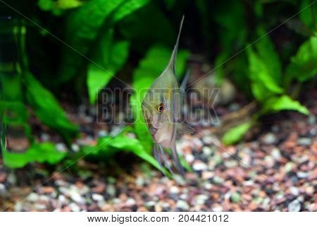 Angelfish in planted tropical aquarium front view shallow DOF