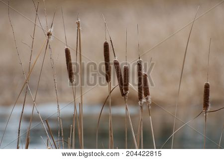 Group of Cattails along Sturgeon Creek, Winnipeg, Manitoba