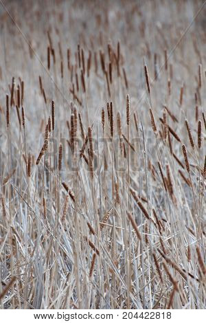 Group of Cattails at Assiniboine Forest Creek, Winnipeg, Manitoba