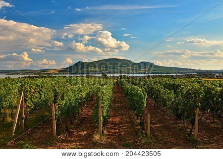 Vineyards At Sunset In Autumn Harvest. Ripe Grapes.wine Region, Southern Moravia - Czech Republic. V