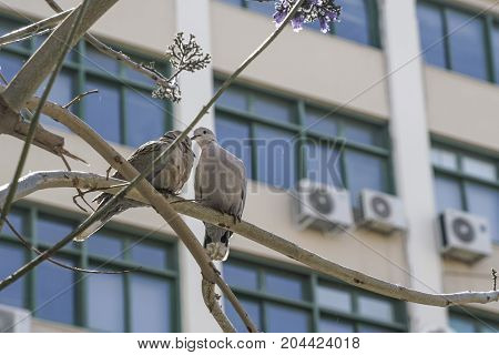 Turtledoves On Branch Of Tree Against Windowds Of A Building