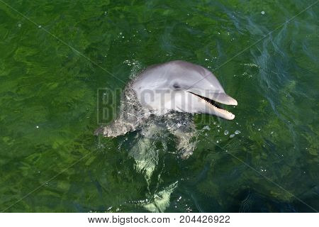 Happy playful dolphin in the sea. Close-up.