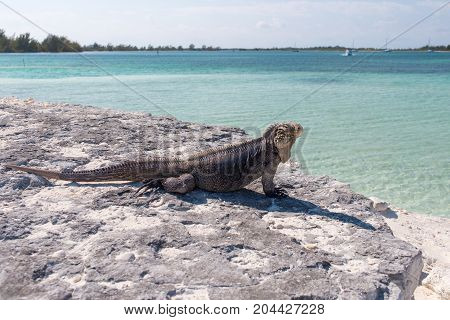 Single iguana on the stone beach blue sea