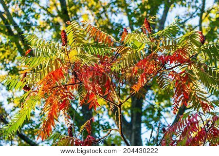 Bright autumn colors of a Wisconsin sumac tree in autumn