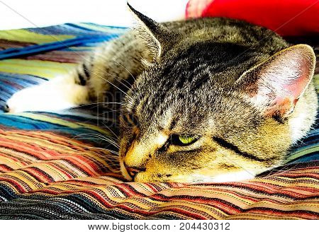 An adorable Tabby cat is dozing off to sleep with one eye open.