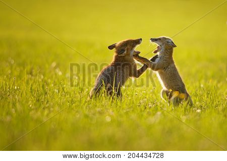 Two fox cubs playing in summer baclight sunset on the grass. Barking and fight between foxes