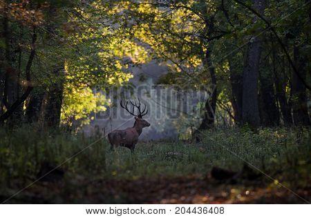 Red Deer Walking In Forest