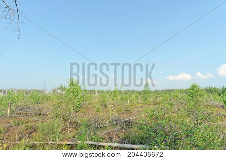 The wastelands from the forest fire in 2010 are overgrown with birches in central Russia.