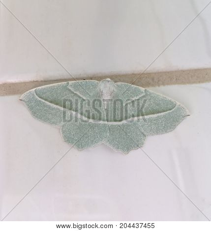 Beautiful night butterfly (Campaea margaritaria) with emerald green color in closeup