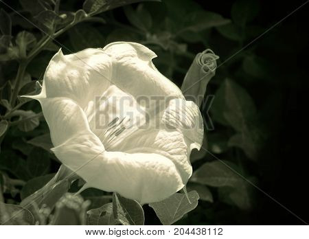 Moonflower blooming in the early morning, retro look