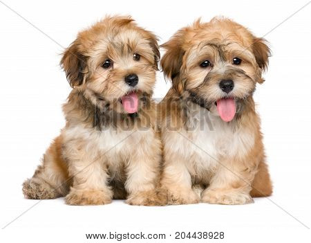 Two cute sitting havanese puppies - isolated on white background