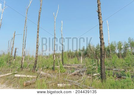 The Wastelands From The Forest Fire In 2010 Are Overgrown With Birches In Central Russia