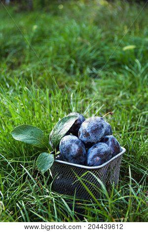 Fresh organic plums. Blue plums on green grass. Autumn harvest.