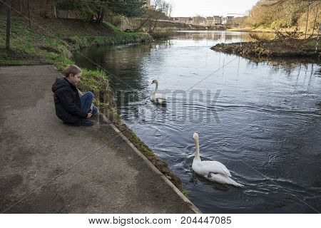 A boy is watching two white swans in river Don at Seaton park Aberdeen