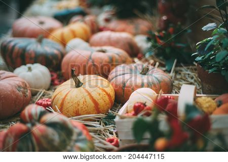 Beautiful Halloween still-life: various squashes of different sizes types and colors are laying on dry grass and in basket on a sunny day after gathering; shallow depth of field
