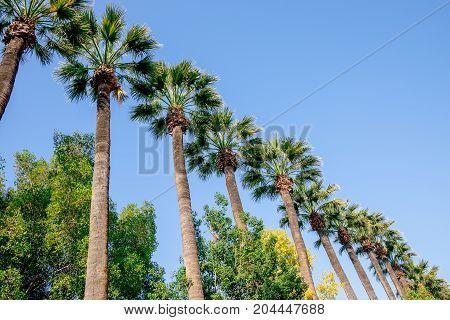 Tall Palm Trees In Nicosia City Public Park