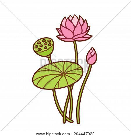 Hand drawn lotus plant botanical illustration. Flower and bud leaf and seed pod. Vector waterlily drawing.